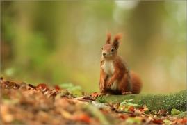 <p>VEVERKA OBECNÁ (Sciurus vulgaris) M. Boleslav ---- /Red squirrel - Eichhörnchen/</p>