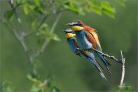 <p>VLHA PESTRÁ (Merops apiaster) jižní Morava ----- /European bee-eater - Bienenfresser/</p>