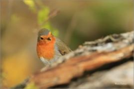 <p>ČERVENKA OBECNÁ (Erithacus rubecula) ------- /European robin - Rotkehlchen</p>