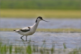<p>TENKOZOBEC OPAČNÝ (Recurvirostra avosetta) jižní Morava  ---- /Pied avocet - Säbelschnäbler/</p>