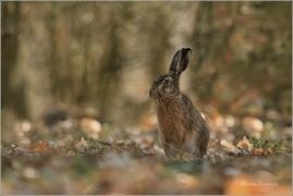<p>ZAJÍC POLNÍ (Lepus europaeus) Mladá Bolelslav -----/European hare - Feldhase/</p>