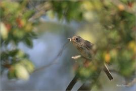 <p>LINDUŠKA LESNÍ (Anthus trivialis)   /Tree pipit - Baumpieper/</p>