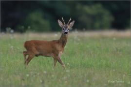 <p>SRNEC OBECNÝ (Capreolus capreolus) Šluknovskop - Království --- /European roe deer - Reh/</p>