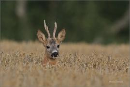 <p>SRNEC OBECNÝ (Capreolus capreolus) Šluknovskop - Jiříkov --- /European roe deer - Reh/</p>