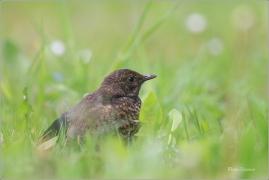 <p>KOS ČERNÝ (Turdus merula) ---- /Common blackbird - Amsel/</p>