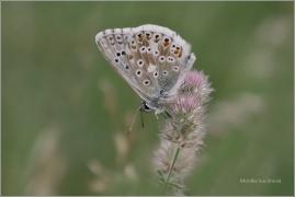 <p>MODRÁSAEK HNĚDOSKVRNNÝ (Polyommatus daphnis) Mladoboleslavkso ---- /Meleager's blue - Zahnflügel-Bläuling/</p>