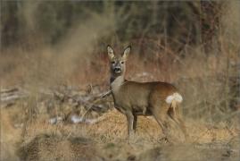 <p>SRNEC OBECNÝ (Capreolus capreolus) Šluknovsko - Studánka --- /European roe deer - Reh/</p>