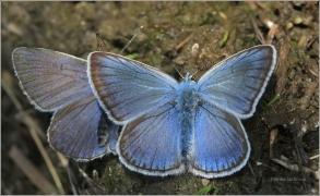 <p>MODRÁSEK UŠLECHTILÝ (Polyommatus icarus) Šluknovsko-Rybniště ----- /Amanda's blue - Vogelwicken-Bläuling/</p>