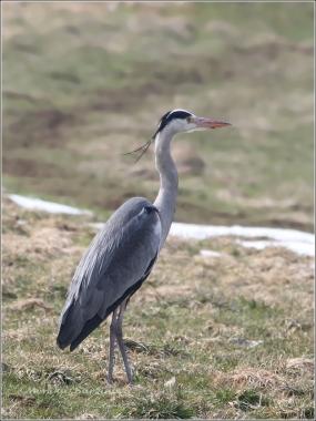 <p>VOLAVKA POPELAVÁ (Ardea cinerea) ---- /Grey heron - Graureiher/</p>