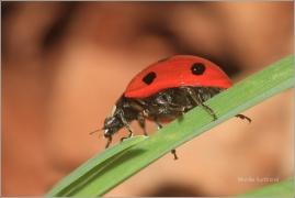 <p>LUNÉČKO SEDMITEČNÉ (Coccinella septempunctata) ---- /Seven-spotted ladybug - Siebenpunkt-Marienkäfer/</p>