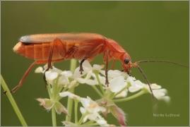 <p>PÁTEŘÍČEK ŽLUTÝ (Rhagonycha fulva) ---- /Common red soldier beetle - Roter Weichkäfer/</p>