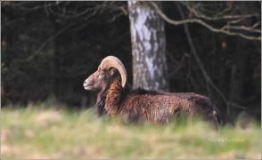 <p>MUFLON (Ovis musimon)  Šluknovsko - Harta /Mouflon - Mufflon/ </p>