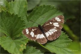 <p>BĚLOPÁSEK TAVOLNÍKOVÝ (Neptis rivularis) Slovenský ráj ---- /Hungarian glider - Schwarzer Trauerfalter/</p>