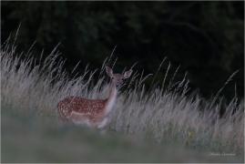 <p>DANĚK SKVRNITÝ (Dama dama) Šluknovsko - Knížecí ---- /Fallow deer - Damhirsch/</p>