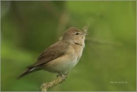 <p>PĚNICE SLAVÍKOVÁ ((Sylvia borin)  /Garden warbler - Gartengrasmücke/</p>