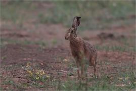 <p>ZAJÍC POLNÍ (Lepus europaeus) ---- /European hare - Feldhase/</p>