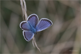 <p>MODRÁSEK ČERNOLEMÝ (Plebejus argus) Mladoboleslavsko --- /Silver-studded blue - Geißklee-Bläuling/</p>