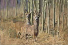 <p>SRNEC OBECNÝ (Capreolus capreolus) Šluknovsko - Filipov ---- /European roe deer - Reh/</p>