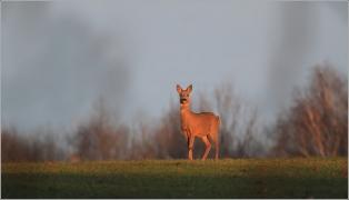 <p>SRNEC OBECNÝ (Capreolus capreolus) Šluknovsko   /European roe deer - Reh/</p>