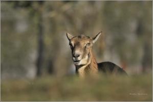 <p>MUFLON (Ovis musimon)  Praha - Kunratický les   /Mouflon - Mufflon/ </p>