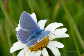 <p>MODRÁSEK JEHLICOVÝ - sameček (Polyommatus icarus) ---- /Common blue butterfly - Hauhechel-Bläuling/</p>