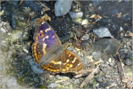 <p>BATOLEC ČERVENÝ (Apatura ilia) Šluknovsko-Království ----- /Lesser purple emperor - Kleiner Schillerfalter/</p>