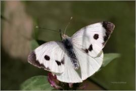 <p>BĚLÁSEK ZELNÝ (Pieris brassicae) ----- /Large white - Großer Kohlweißling/</p>