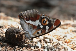 <p>BATOLEC DUHOVÝ (Apatura iris) Českobudějovicko ----- /Purple emperor - Großer Schillerfalter/</p>