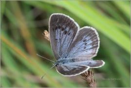 <p>MODRÁSEK OČKOVANÝ (Maculinea teleius) Novohradské hory-Terčino údolí ----- /Scarce large blue - Heller Wiesenknopf-Ameisenbläuling/</p>