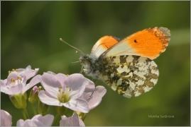 <p>BĚLÁSEK ŘEŘICHOVÝ - sameček (Anthocharis cardamines) ----- /Orange tip - Aurorafalter/</p>