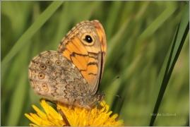 <p>OKÁČ ZEDNÍ (Lasiommata megera) Šluknovsko-Jiříkov ---- /Wall brown - Mauerfuchs/</p>