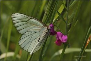 <p>BĚLÁSEK OVOCNÝ (Aporia crataegi) Šluknovsko-Království ---- /Black-veined white butterfly - Baum-Weißling/</p>