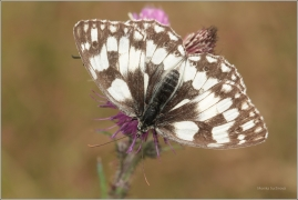 <p>OKÁČ BOJÍNKOVÝ (Melanargia galathea) ----- /Marbled white - Schachbrett (Schmetterling)/</p>