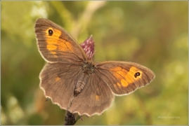 <p>OKÁČ LUČNÍ - samička (Maniola jurtina) ---- /Meadow brown butterfly - Großes Ochsenauge/</p>