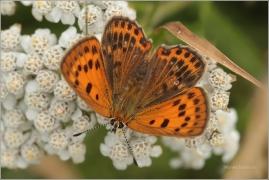 <p>OHNIVÁČEK CELÍKOVÝ - samička (Lycaena virgaureae)---- /Scarce copper - Dukatenfalter/</p>