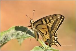 <p>OTAKÁREK FENYKLOVÝ (Papilio machaon) (Šluknovsko-Severní  ----- /Old World swallowtail - Schwalbenschwanz/</p>