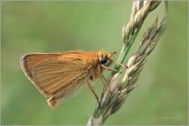 <p>SOUMRAČNÍK ČÁREČKOVANÝ (Thymelicus lineola) ----- /Essex skipper - Schwarzkolbiger Braun-Dickkopffalter/</p>