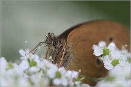 <p>OKÁČ PROSÍČKOVÝ (Aphantopus hyperantus) ---- /Ringlet - Brauner Waldvogel/</p>