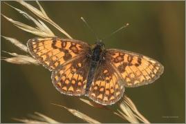 <p>HNĚDÁSEK JITROCELOVÝ (Melitaea athalia) Český Krumlov-Výšenské kopce ----- /Heath fritillary - Wachtelweizen-Scheckenfalter/</p>