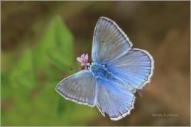 <p>MODRÁSEK HNĚDOSKVRNNÝ - sameček (Polyommatus daphnis) Český Krumlov-Výšenské kopce ---- /Meleager's blue - Zahnflügel-Bläuling/</p>