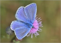 <p>MODRÁSEK JEHLICOVÝ - sameček (Polyommatus  ---- /Common blue butterfly - Hauhechel-Bläuling/icarus)</p>