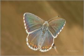 <p>MODRÁSEK VIKVICOVÝ - samička (Lysandra coridon) Český Krumlov-Výšenské kopce ---- /Chalkhill blue - Silbergrüner Bläuling/</p>
