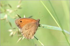 <p>OKÁČ LUČNÍ (Maniola jurtina) ---- /Meadow brown butterfly - Großes Ochsenauge/</p>