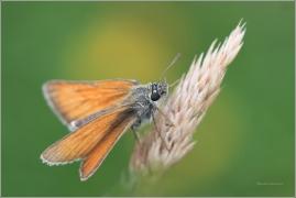 <p>SOUMRAČNÍK ČÁREČKOVANÝ? (Thymelicus lineola) ----- /Essex skipper - Schwarzkolbiger Braun-Dickkopffalter/</p>