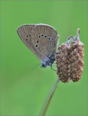 <p>MODRÁSEK BAHENNÍ (Maculinea nausithous) Rychnov u Jbc.n.N.  ---- /Dusky large blue - Dunkler Wiesenknopf-Ameisenbläuling/</p>