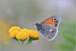 <p>OKÁČ POHÁŇKOVÝ (Coenonympha pamphilus) ---- /Small heath - Kleines Wiesenvögelchen/</p>