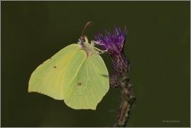 <p>ŽLUŤÁSEK ŘEŠETLÁKOVÝ (Gonepteryx rhamni) ---- /Common brimstone - Zitronenfalter/</p>