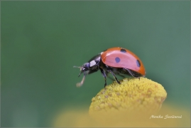 <p>SLUNÉČKO SEDMITEČNÉ (Coccinella septempunctata) ---- /Seven-spotted ladybug - Siebenpunkt-Marienkäfer/</p>