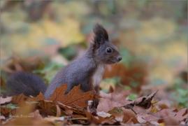 <p>VEVERKA OBECNÁ (Sciurus vulgaris) /Red squirrel/ Eichhörnchen</p>