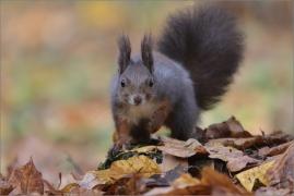<p>VEVERKA OBECNÁ (Sciurus vulgaris) ---- /Red squirrel/ Eichhörnchen</p>